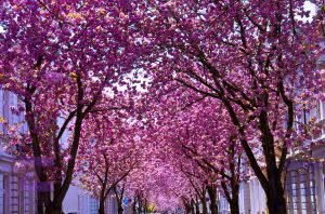 Kirschblüten 2015 Bonn